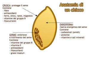 anatomia chicco di grano